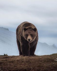 A grizzly bear in the British Columbia mountains by _____________________________________________ Select by founder Ours Grizzly, Grizzly Bears, Animals And Pets, Cute Animals, We Bear, Animal Photography, Polar Bear, Animal Kingdom, Pet Birds