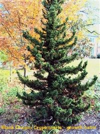 "Cryptomeria japonica ""Black Dragon"" 8-10' by 4-6' Slow to moderate - 3-6"" per year.  Loves full sun"