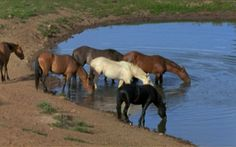 At the Watering Hole Cloud and his bachelor friends drink from a water hole. Within a few weeks, every horse in the photo, save Cloud, will be rounded up and sold for adoption.Horse Fact: As the snow melts in the Spring, wild horses climb the mountain past the snow line in search of emerging water sources.