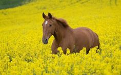Alazan. #caballo