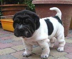 Black & white Chinese Sharpei puppy