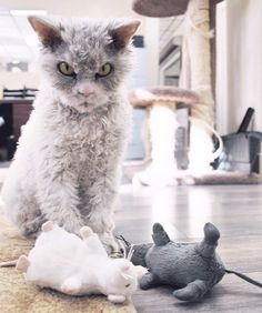 Meet Pompous Albert, the Cat With a Case of Resting Bitch Face | Catster Selkirk Rex, Grumpy Cat, Kittens Cutest, Cats And Kittens, Kitty Cats, Curly Haired Cat, Rex Cat, Angry Cat, Cat Mouse