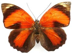 Agrias Sahlkei Butterfly  (Insect Collection, Rare Butterflies, French Guiana)