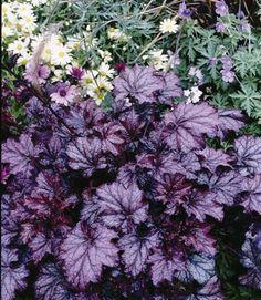 Afbeeldingsresultaat voor heuchera micrantha var. diversifolia pa