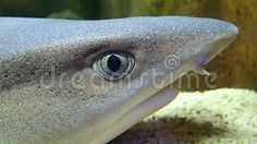 Video about A reef shark head breathing. Video of animal, fish, aquatic - 102409574 Shark Head, Reef Shark, Fish, Pets, Animals And Pets