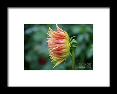 dahlia, orange, flower, bloom, blossom, nature, garden, michiale, schneider, photography