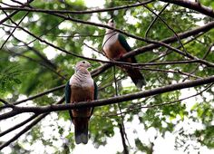 Cinnamon-bellied Imperial Pigeon , Pergam boke (Ducula basilica) - endemic bird, Columbiformes-Columbidae