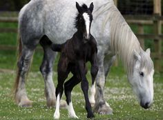 """A week old Shire horse foal runs around her mother Orla at Cornwall's Crealy Adventure Park on May 24, 2013 near Wadebridge, England. Once a common sight in the UK, shire horses are now classed as """"at risk"""" by the Rare Breed Survival Trust.  The yet-to-be-named filly foal, bred in a breeding programme by the adventure park as part of a endangered species prtotection project, will be one of less than 300 predicted to be born in the country this year."""