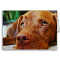Vizsla - Thinking of you........