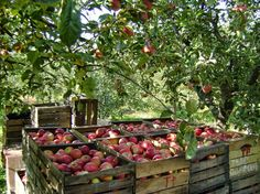 It's Apple Picking Time in Winchester Virginia!  Winchester-Frederick County's roots lie in the apple industry, so it's no surprise that even today the rolling hills still feature family-owned farms and markets. Wile away an afternoon picking your own apples, sipping Shenandoah Valley wine, or enjoying a leisurely hayride.  http://bethpaisley.topproducerwebsite.com/home.asp. Beth Paisley - Google+
