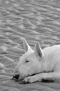 English Bull Terrier. Photograph by Alice van Kempen