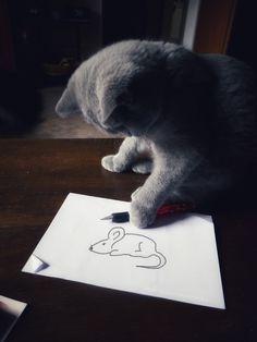 BSH Kitten Edda