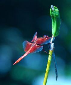 Dragonfly by Karen.b, via Flickr