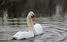 #mute swan #nature #spring #swan #swans #water bird
