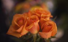 Download wallpapers orange roses, buds, close-up, roses, bokeh, bouquet of flowers