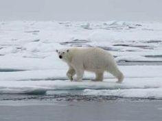 a new visitor Catamaran, Polar Bear, Animals, Animales, Animaux, Animal, Animais, Dieren, Polar Bears