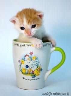 Sopa de gato    Ingredientes:    - 1 gato nacido hace 20 días aproximádamente    Vierta al felino en la taza, agregue un fondo blanco, encienda una luz y enfoque.    Procure que la modelo no se ponga tan nerviosa como esta, que se hizo pipí en la taza =P    Foteo rapidísimo en la casa.    Esa gatita como todas, volverá... todas vuelven a mí B)