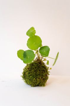 I experimented with my own hydrocotyle verticillata cuttings — planting them into a moss ball. Another kokedama attempts on my other b...