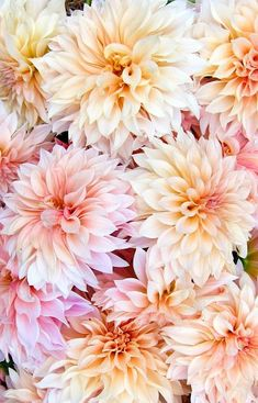 "~~Cafe au Lait Dahlia | gorgeous Informal Decorative dahlia that is all the rage for weddings. Beautiful shades of sometimes soft peach and sometimes blush pink flow through the 6 - 8"" petals. Grows to 4 ft high 