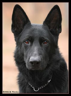 all black german shepherd - Getting you in the future!!