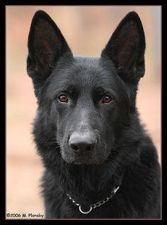 all black german shepherd - <3