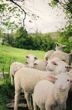 adorableanimalss: Baby sheep