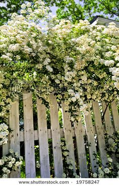 """Bridal Wreath"" Spirea - very pretty and doesn't require the care that roses do."