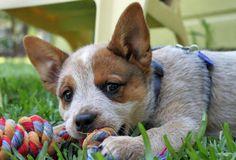 Google Image Result for http://cdn-www.dailypuppy.com/dog-images/sydney-the-australian-cattle-dog_48158_2010-07-22_w450.jpg