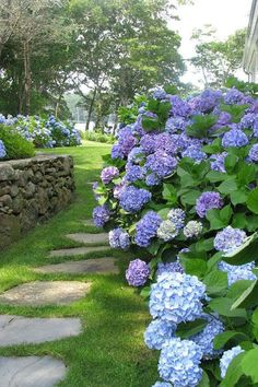 Hydrangea Lines garden paths Hydrangea Landscaping, Hydrangea Garden, Blue Hydrangea, Backyard Landscaping, Landscaping Ideas, Backyard Ideas, Limelight Hydrangea, Blue Flowers, Garden Ideas