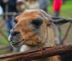 Llama @ Perú #travel