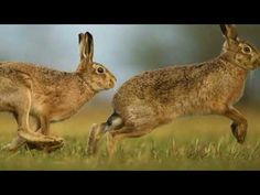 Hares and jackrabbits are leporids belonging to the genus Lepus. Wild Life, Hare, Kangaroo, Animal Pictures, Animaux, Baby Bjorn, Animal Pics, Animal Photography, Rabbits