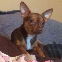 Lost Dog - Chihuahua Short Haired - Warner Robins, GA, United States 31093