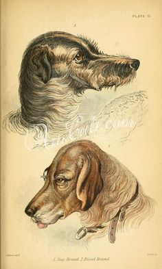 - Stag Hound, Blood Hound, Staghound, Bloodhound heads hunting dogs mammals two paintings vintage digital clipart print images Antique Prints, Antique Art, Antique Books, Victorian Books, Rare Antique, Retro Images, Vintage Pictures, Victorian Paintings, Animal Heads