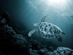Beutiful Tortoise & Sun rays piercing through the sea  make life possible.