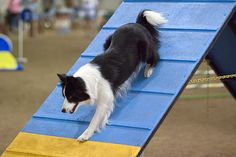 #Dog #agility competitions are rapidly growing in popularity worldwide! Find out more about this exciting #canine sport in today's blog post.