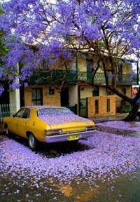 Jacaranda Tree Purple Haze, Purple Yellow, Shades Of Purple, Yellow Car, Purple Gold, Periwinkle, Purple Carpet, Bright Purple, Orange