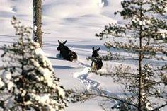 Älgen är svenska skogens största djur.