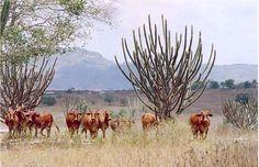 Os animais da raça sindi produzem, praticamente, o mesmo tanto de carne que os outros, porém consomem menor quantidade de…