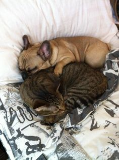 #snuggles #french bulldog #kitten