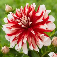 Dahlia Catching Fire A dahlia with great curb appeal. The jazzy, red and white blossoms will catch the eye of everyone who passes by.