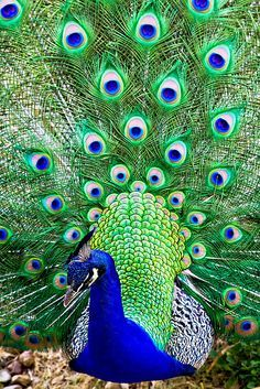 Peacock at Barsana Dham Peacock And Peahen, Peacock Bird, Peacock Tail, Pretty Birds, Beautiful Birds, Animals Beautiful, Exotic Birds, Colorful Birds, Peacock Pictures