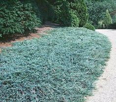 Blue Rug Juniper (Juniperus horizontalis) 'Wiltonii' - Fast growing to 6 in. tall, spreads 6 to 8 ft. wide.