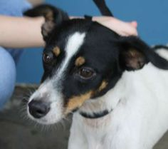Sally (t-Kennels) is an adoptable Rat Terrier Dog in Baton Rouge, LA. This happy little girl is all the great aspects of a jack russell in that she is has lots of energy and sweet, loyal disposition. Rat Terrier Dogs, Jack Russell Terrier, Rats, Little Girls, Pup, Tiny Dog, Sally, Homes, Animals