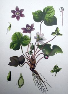 1905 -  HEPATICA triloba Gilibert Leberblume - Chromolithography by Zeyschwitz. Botany.  #botanical #engravings #prints #lithographs #handcoloured #flowers #plants #fruits #berries #vegetables #herbs #mushrooms #Antique Print #Antique Engraving #Original Print #Original Engraving #Alte Stiche #Gravure #Stampa Antica #Ornamental #Decorative #Original #Victorian #Antique Etching #Original Etching