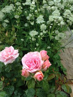 Pink rose and astrantia