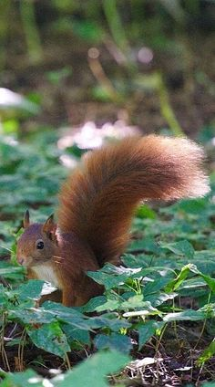"""Squirrel: """"Not wishing to boast, but I do feel I have the most attractive tail; in this part of the woods!"""" ='ᴥ'="""