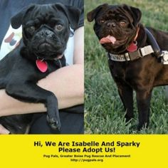These adorable little guys need homes.  Donate or adopt one yourself today from Pug Pals.