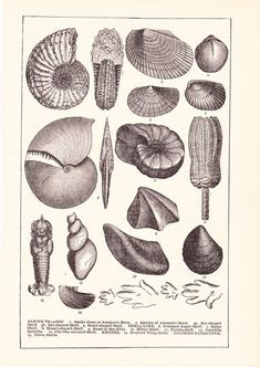 1902 Sea Shell Print - Vintage Antique Home Decor Art Illustration for Framing 100 Years Old