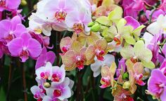 Get detailed instructions on plant care required for growing orchids varieties indoor. Know more about hydroponic orchid varieties and hydroponic feed schedule here. Flower Images Hd, Orchid Images, Flower Photos, Moth Orchid, Orchid Care, Orchid Flowers, Orchid Wallpaper, Hd Wallpaper, Orchid Varieties