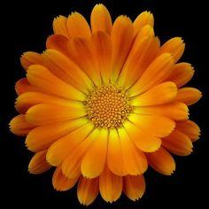 Vibrant orange daisy!